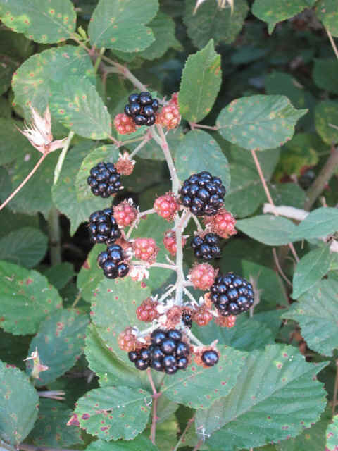 berries at my camping site.JPG (119745 bytes)